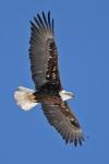 bald-eagle4